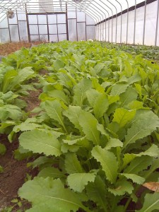 turnips in the greenhouse
